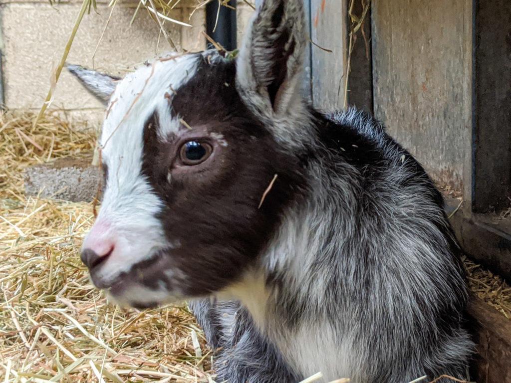 baby goat at Blaze Farm