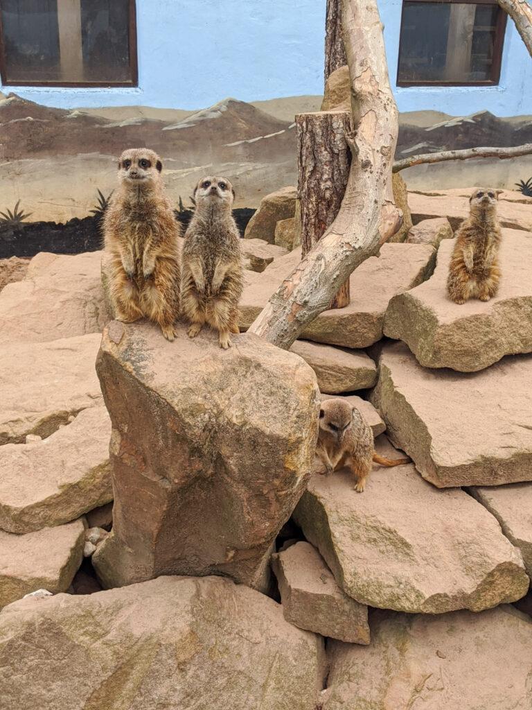 meerkats at Matlock Farm Park