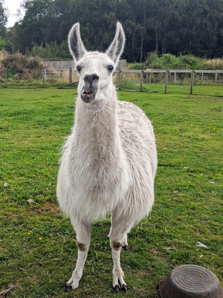 llama at Matlock Farm Park
