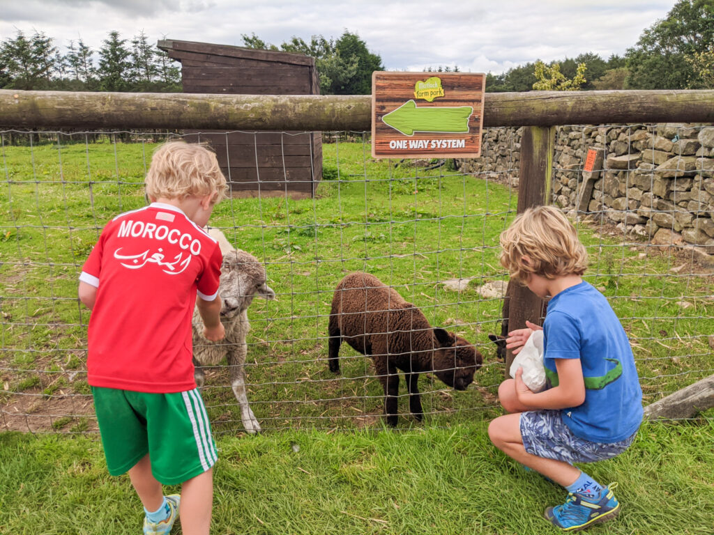 feeding a sheep at Matlock Farm Park
