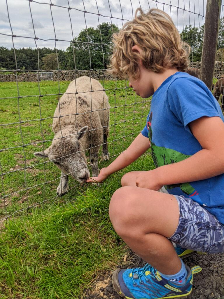 feeding a sheep at Matlock Farm Park